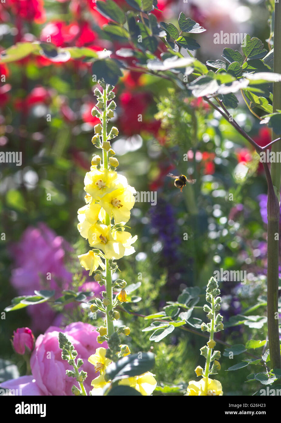 A bee flies off from a yellow antirrhinum towards mixed flowers and plants on a beautiful sunny day in Chelsea at - Stock Image