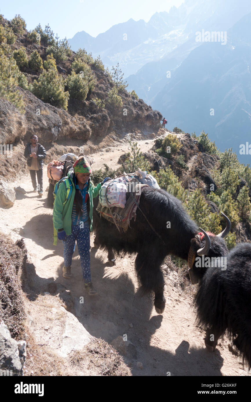 Yak herders with their yaks on a trail in the Khumbu region, Himalayas, Nepal, Asia - Stock Image