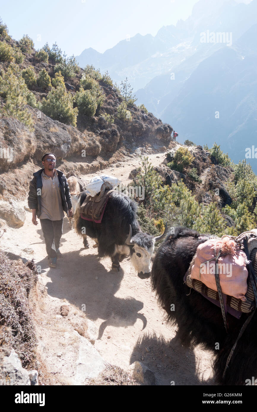 Yak herder with his yaks on a trail in Khumbu region, Himalayas, Nepal - Stock Image