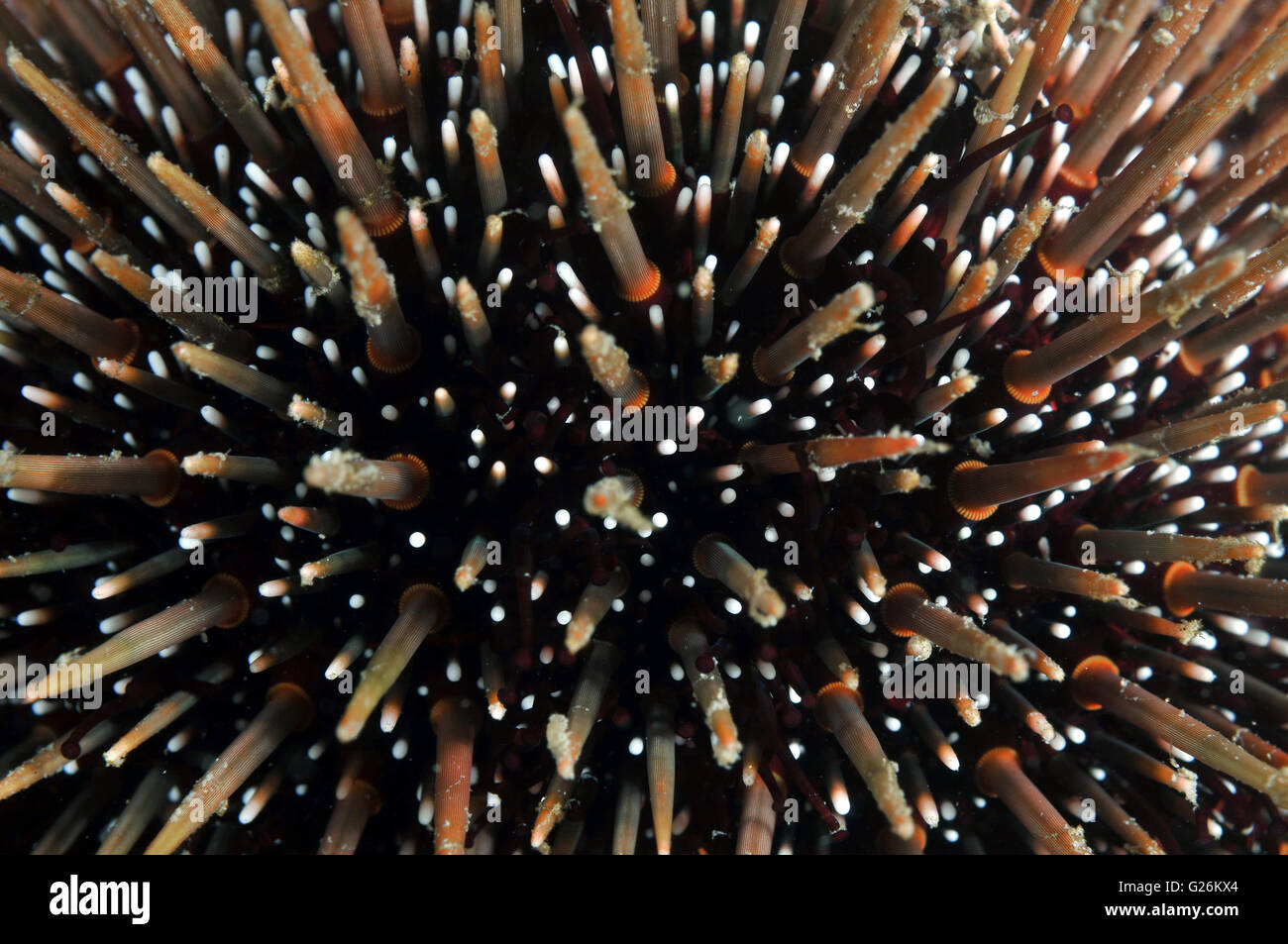 sea urchin,common sea urchin Stock Photo
