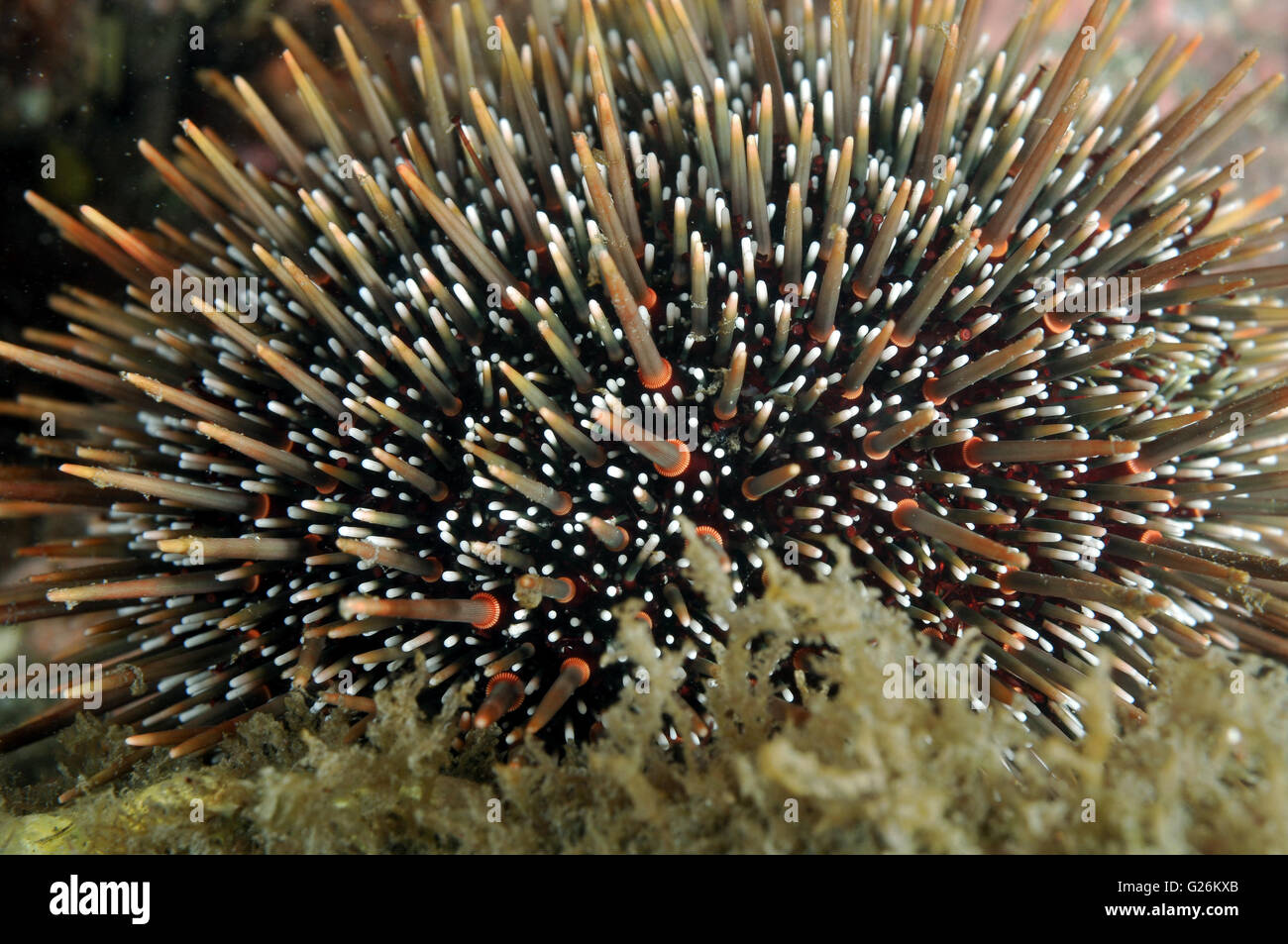 sea urchin,common sea urchin Stock Photo