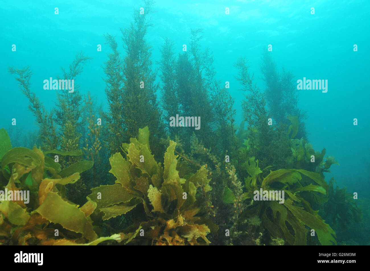 Shallow water kelp forest in misty water Stock Photo