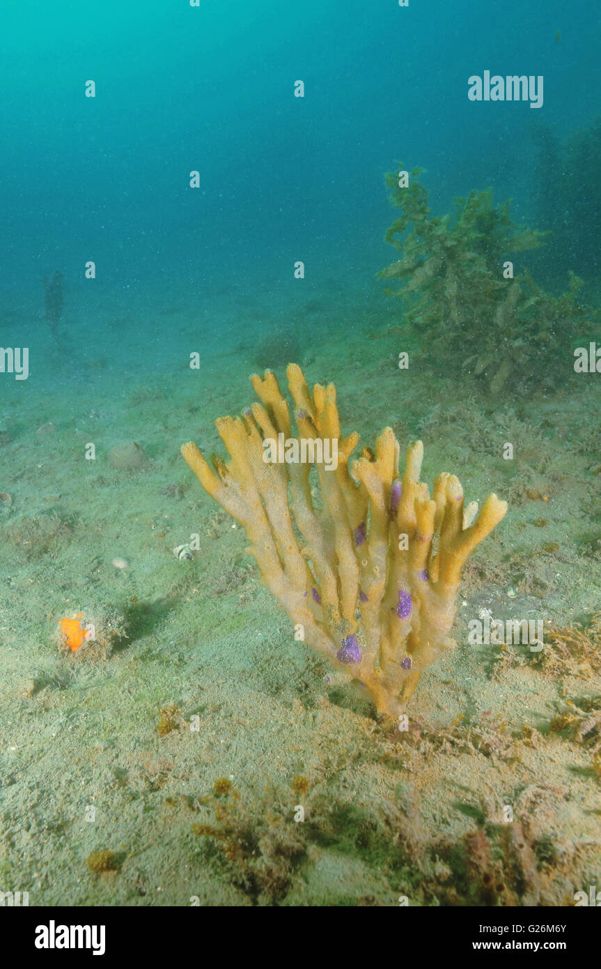 Finger sponge bush on silty bottom Stock Photo