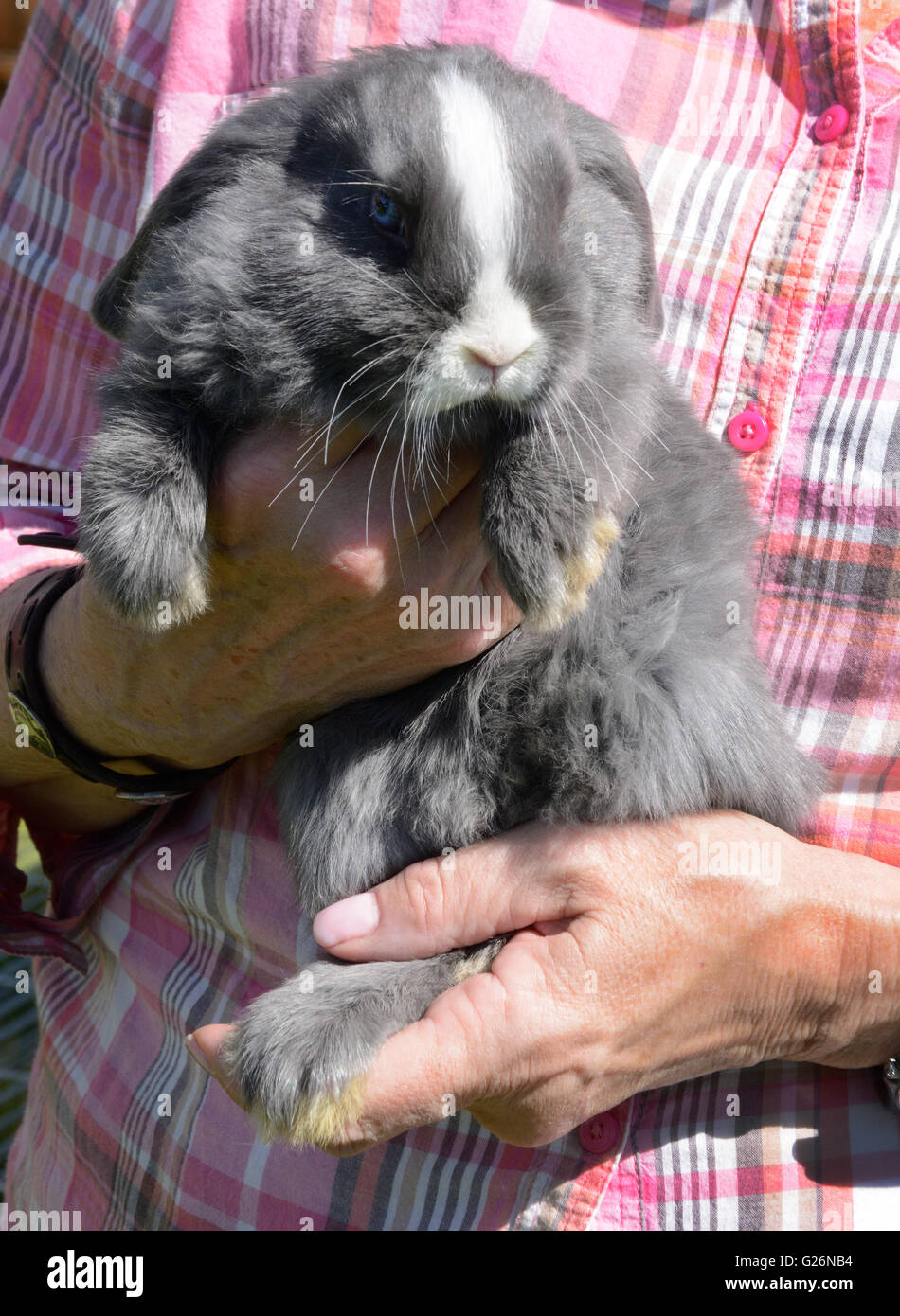 Holland Lop rabbit held in arms by farmer - Stock Image