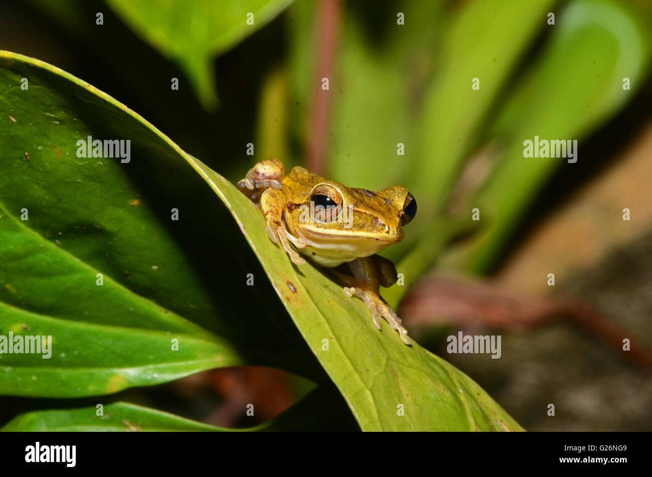 A tree frog sits on a leaf, Khao Sok, Thailand - Stock Image