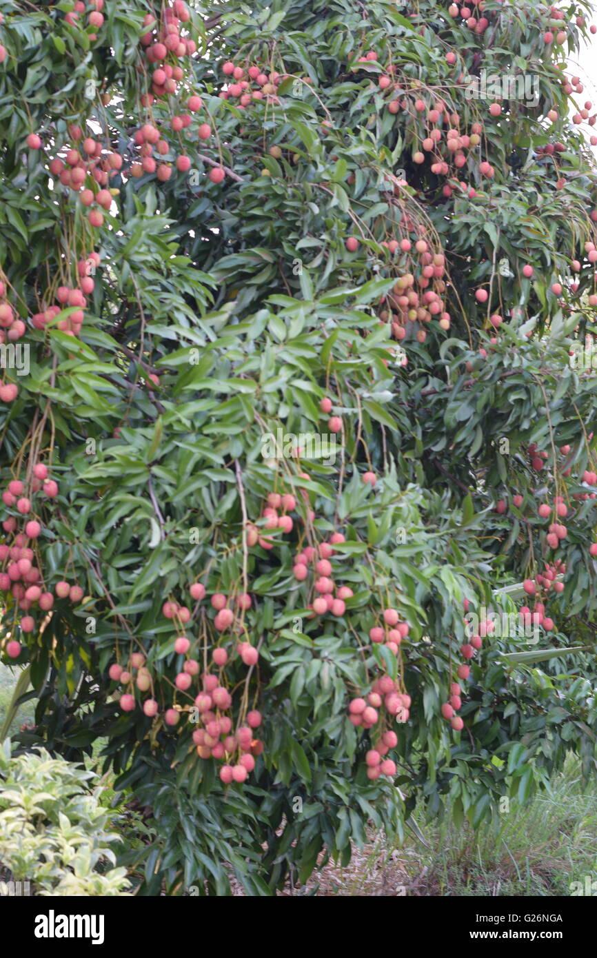 Litchi Fruit, Fruits, Indian fruits, fruit tree - Stock Image