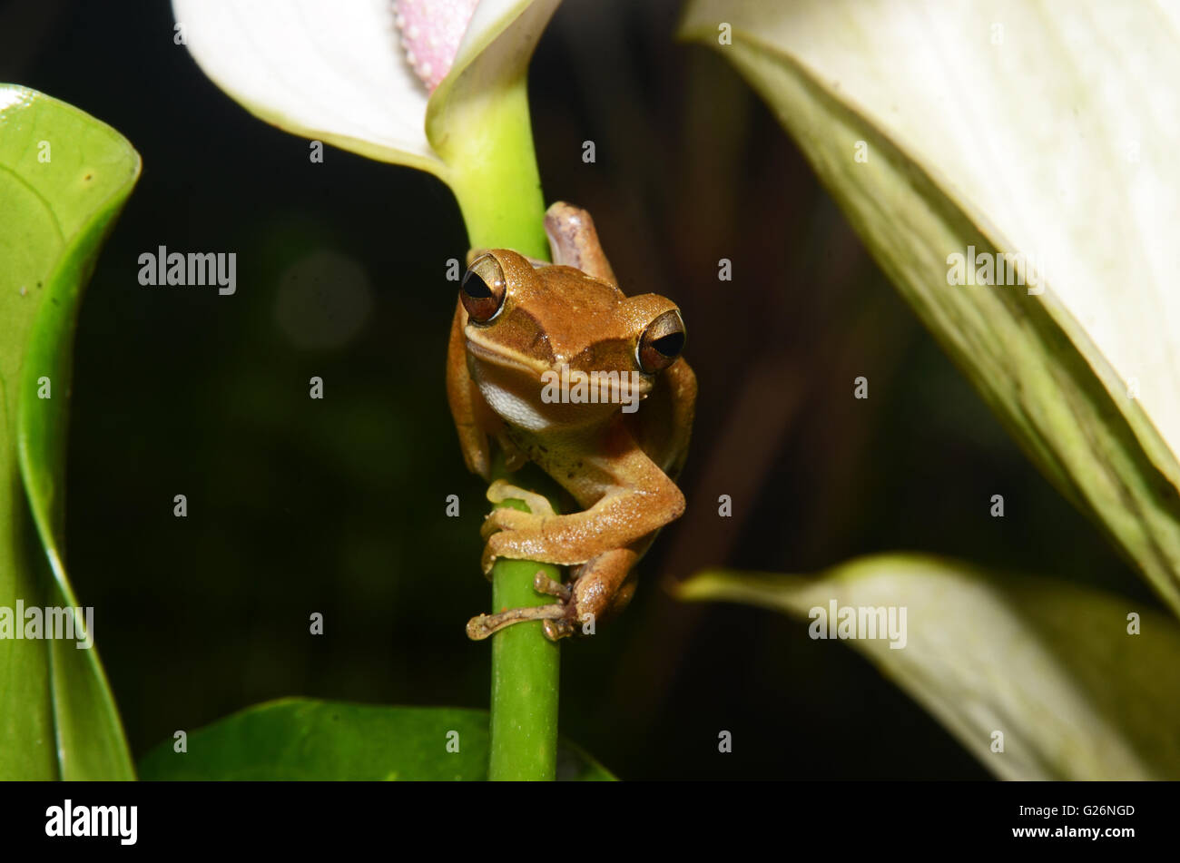 A tree frog on a flower stem, Khao Sok, Thailand - Stock Image