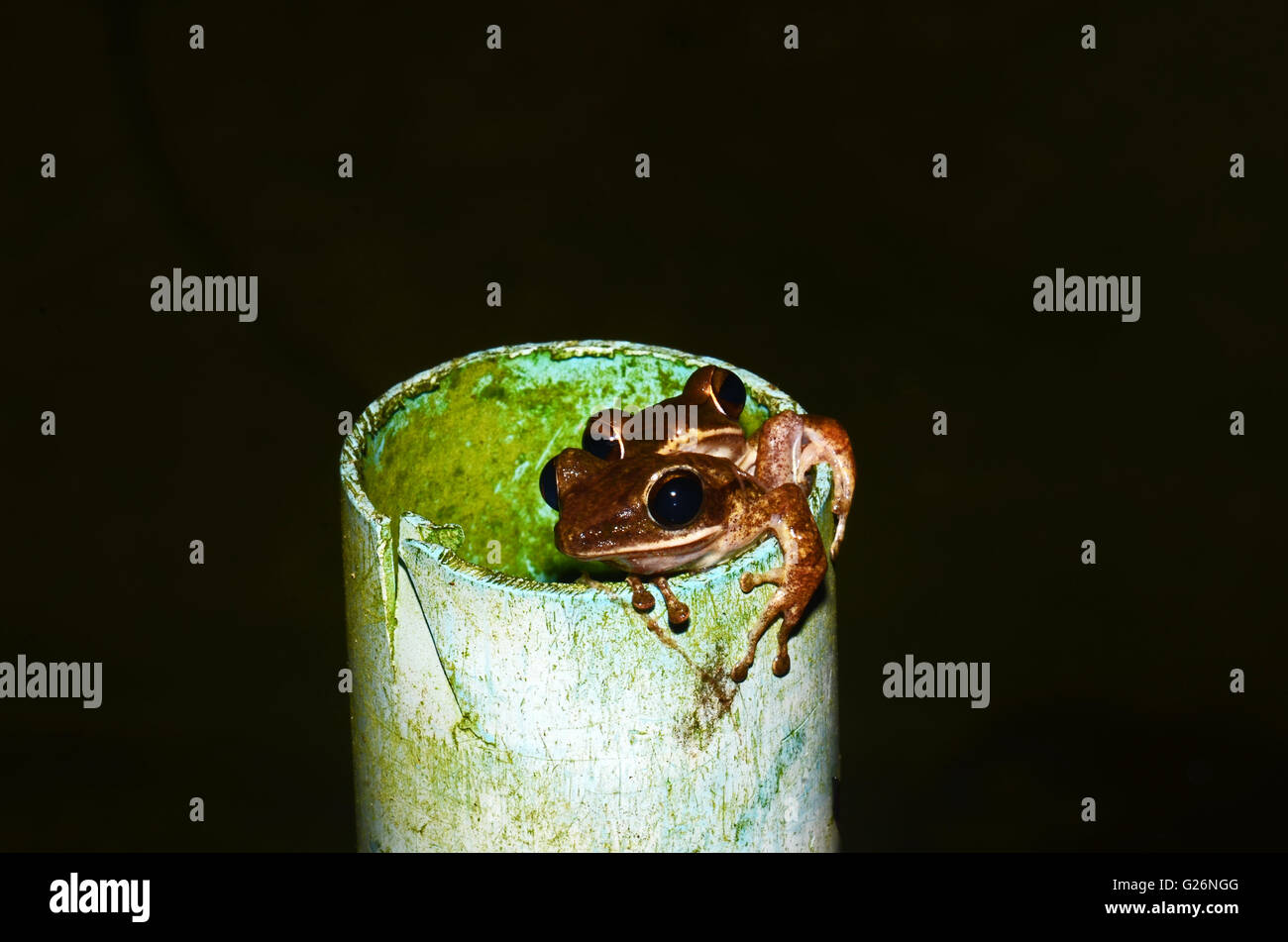 Two tree frogs emerge from a drainage tube, Khao Sok, Thailand - Stock Image