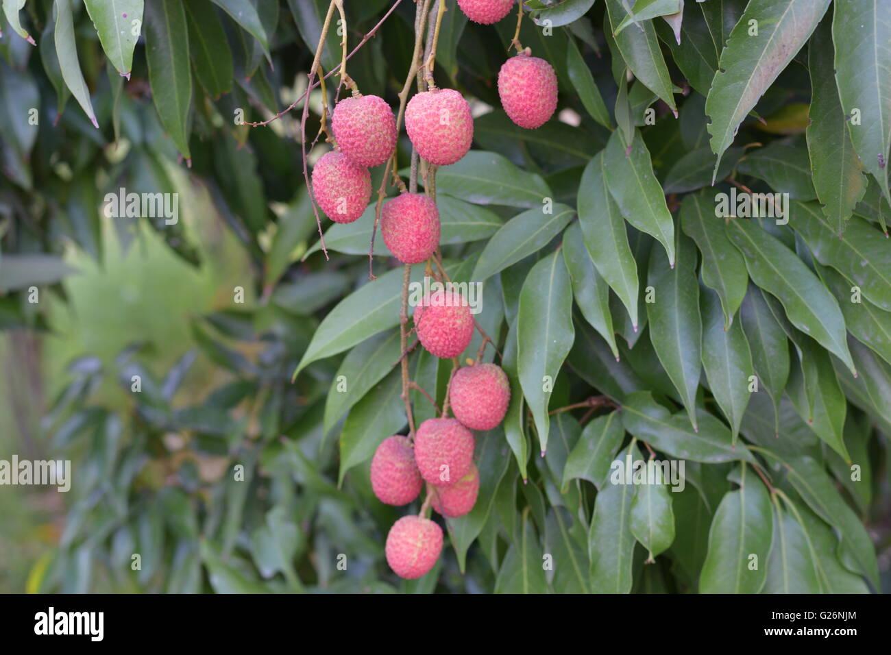 Litchi Fruit, Fruits, Indian fruits, fruit tree Stock Photo