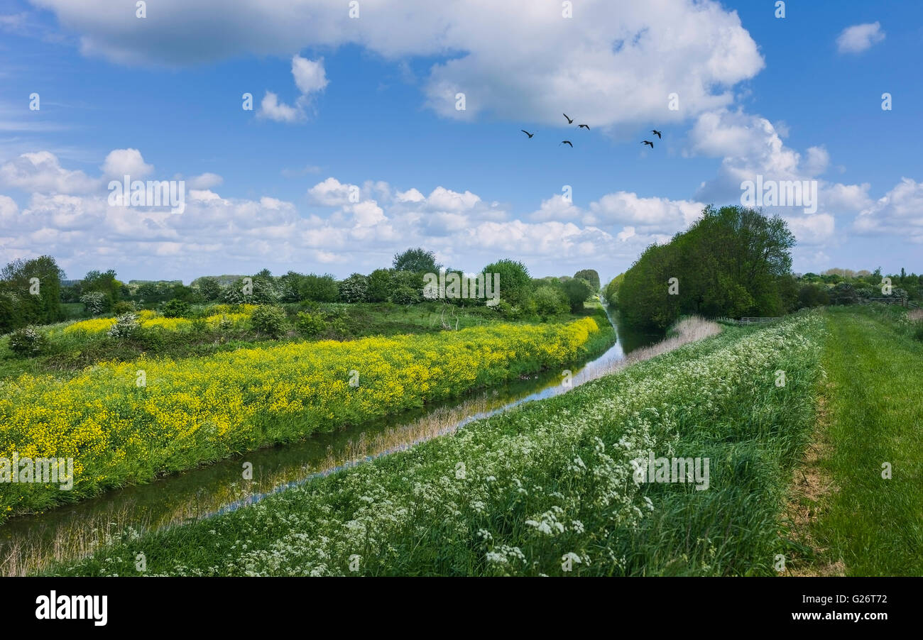 Beverley & Barmston Drain with wild flowers line the bank with wildfowl flying on a bright summer day near Wilfholme. - Stock Image