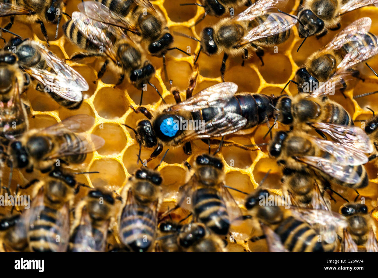 Bee queen, marked and surrounded by worker bees - Stock Image