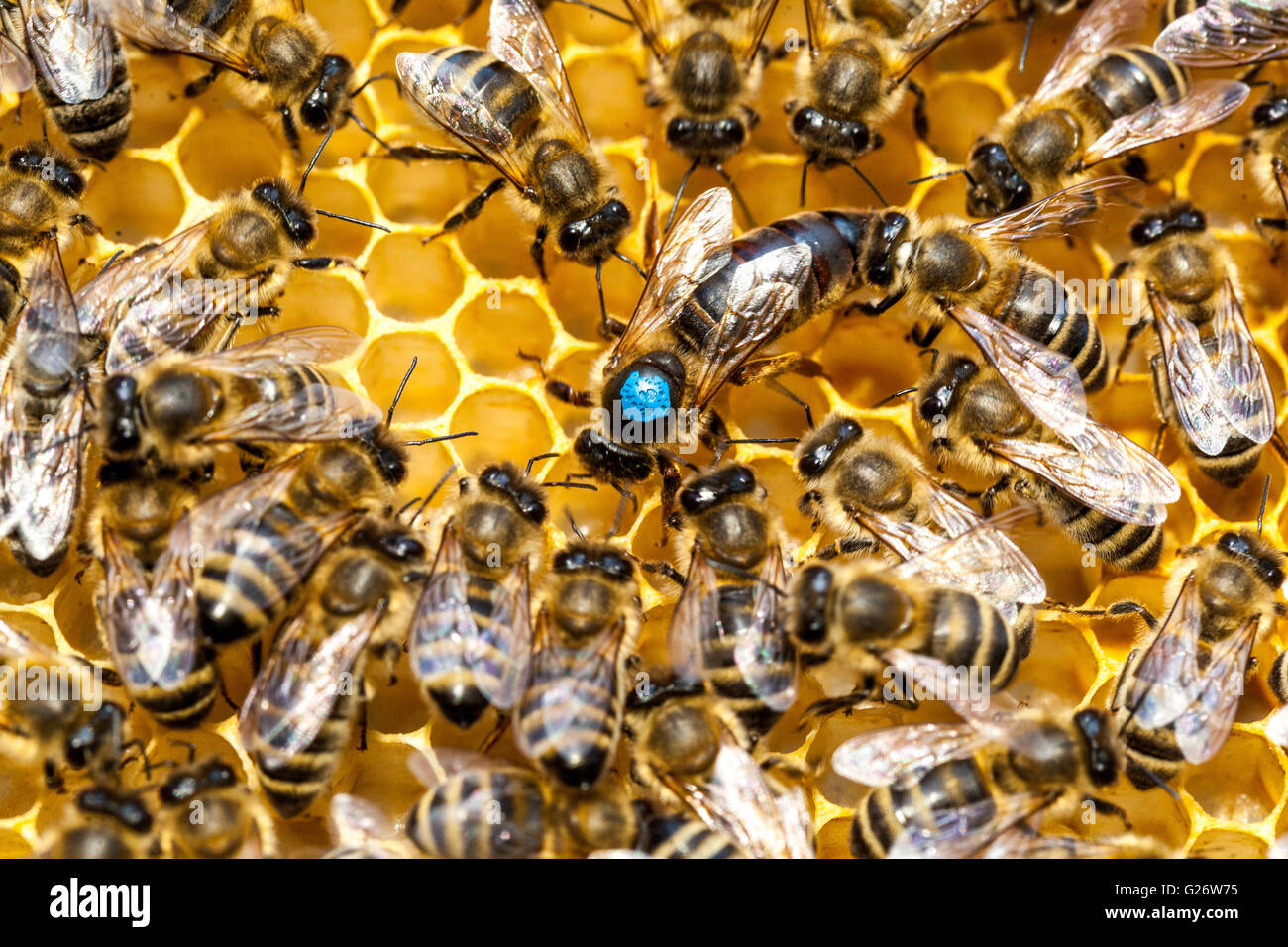 Bee queen, marked and surrounded by worker bees, beehive bees - Stock Image