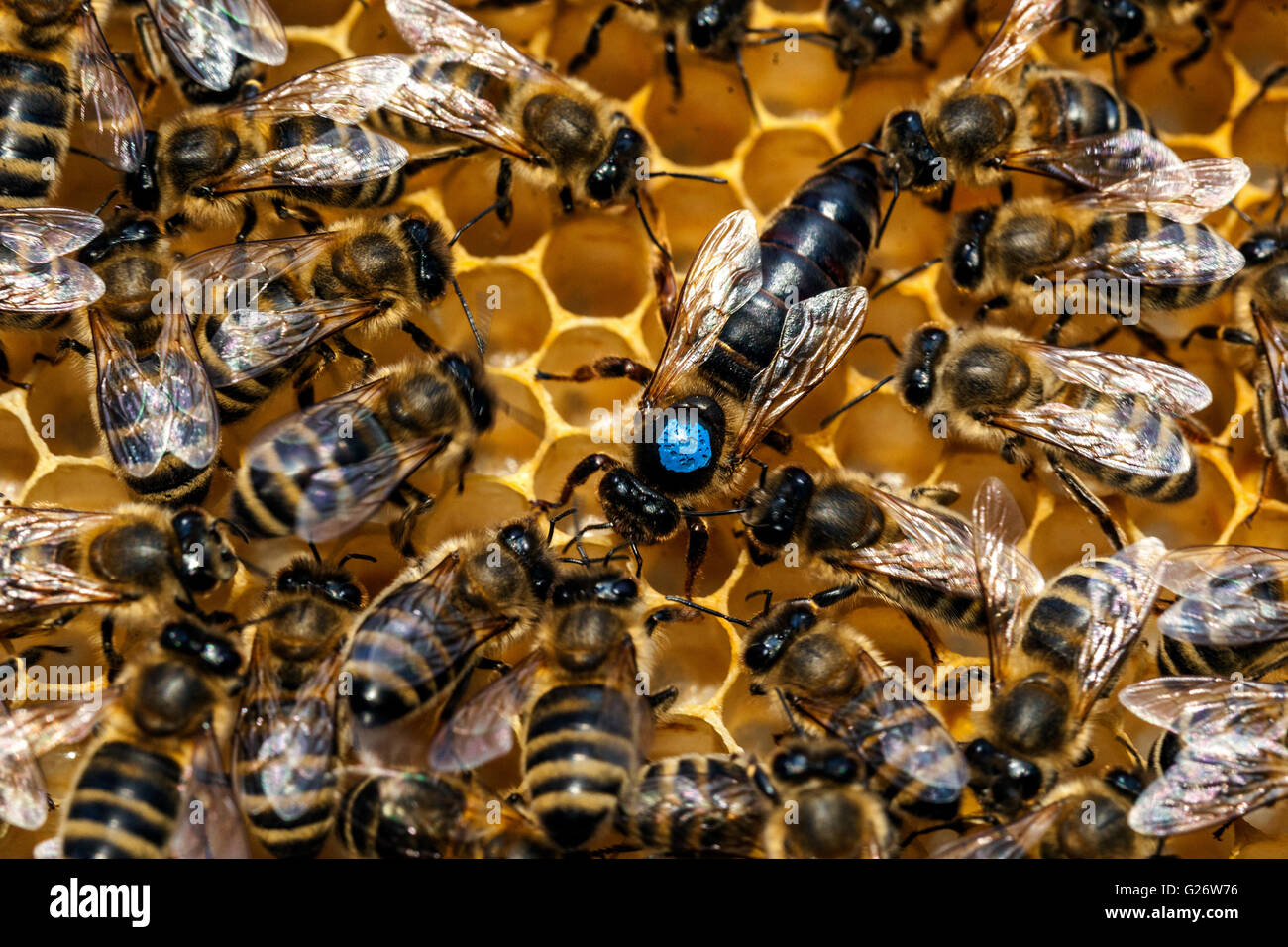 Queen bee, marked and surrounded by worker bees - Stock Image
