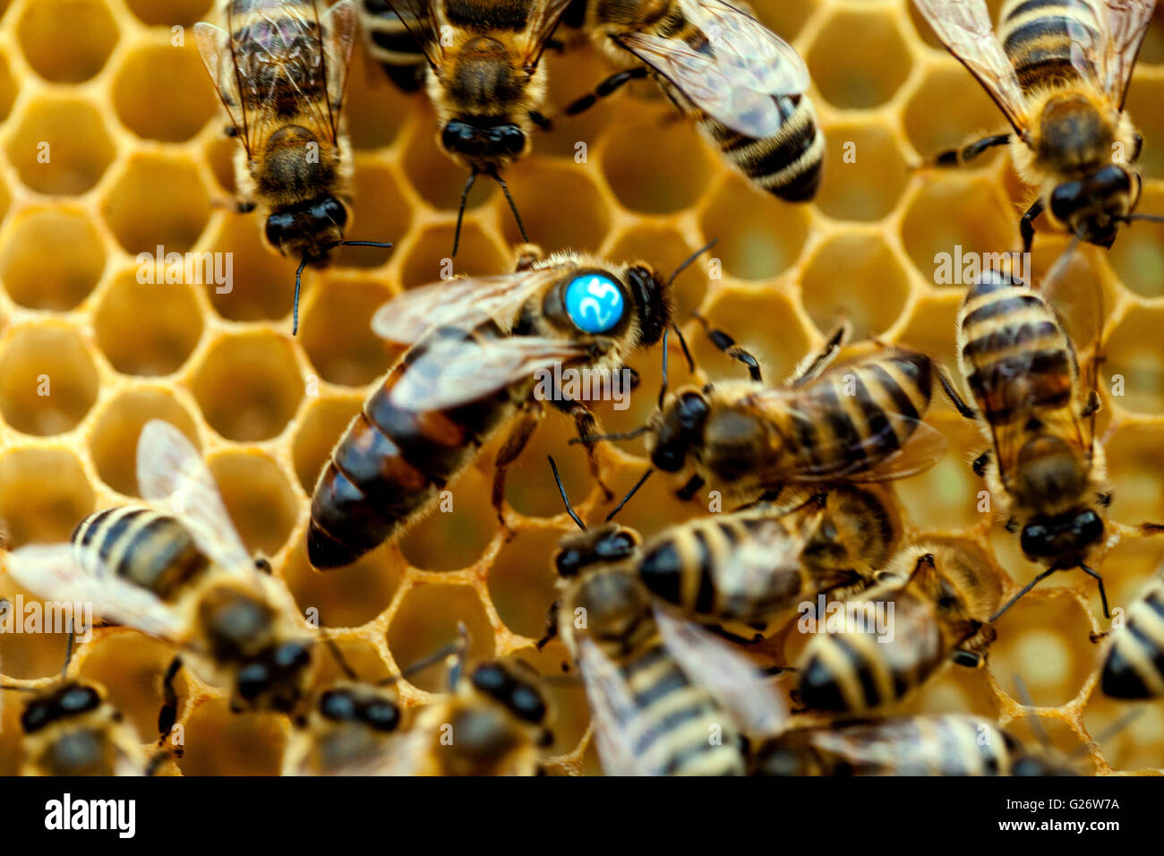 Bee queen close up - Stock Image