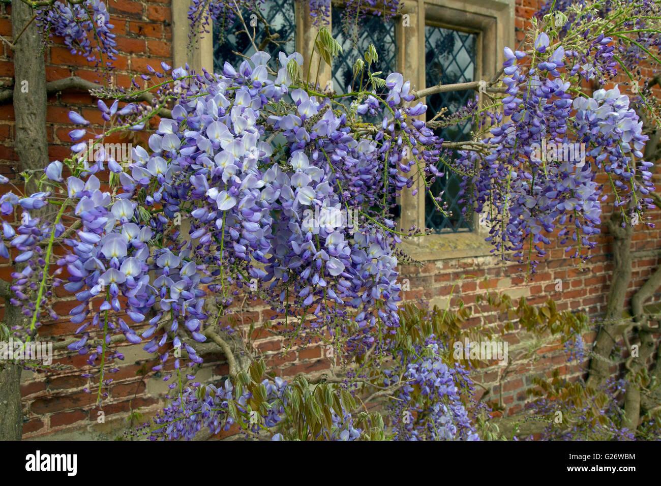 Wisteria floribunda growing around garden wall - Stock Image