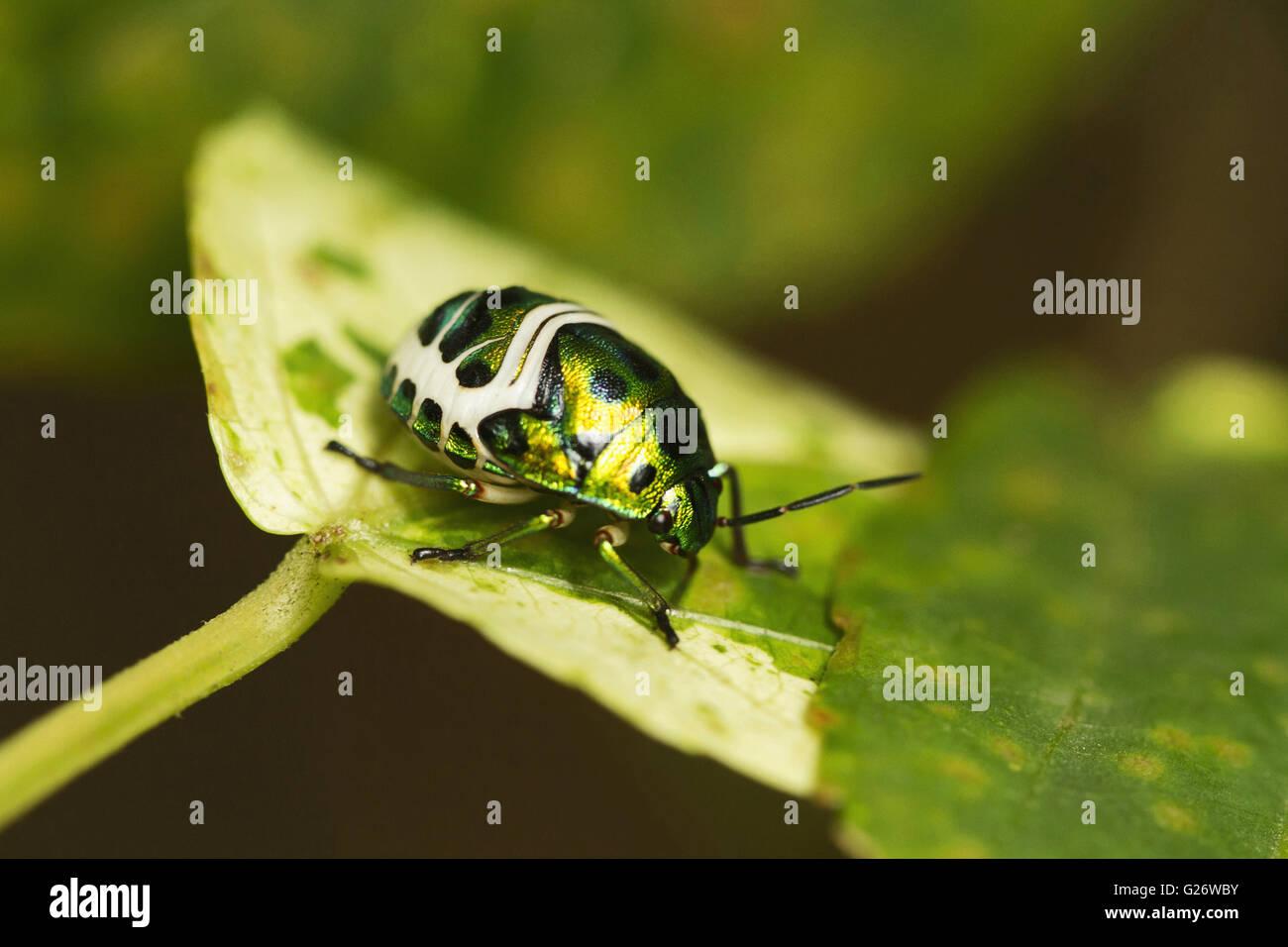 Jewel Bug or Shield Backed Bug in the family Scutelleridae. Chrysocoris stolli. Chorla Ghats Mhadei Wildlife Sanctuary - Stock Image