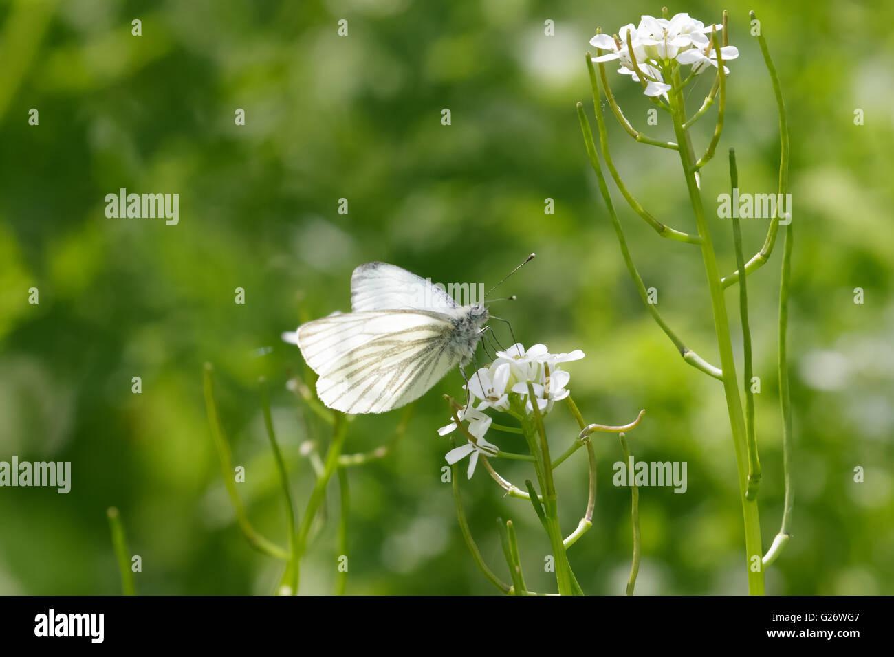 Green-veined white (Pieris napi) feeding on nectar of a white flower. - Stock Image