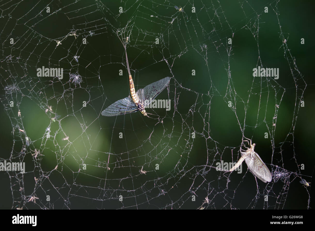 Dead Mayflies (Ephemera vulgata) caught in a damaged spiders web. - Stock Image