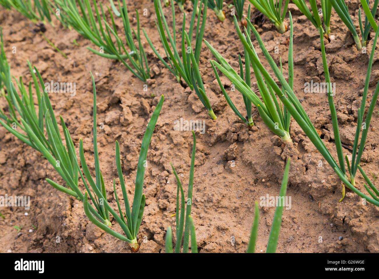 Young Sprouts Green Onion Stock Photos & Young Sprouts Green Onion ...
