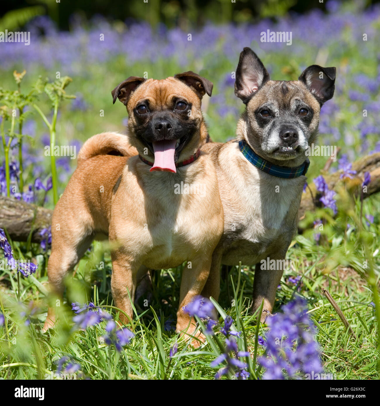 two pug x jack russell dogs in bluebells - Stock Image