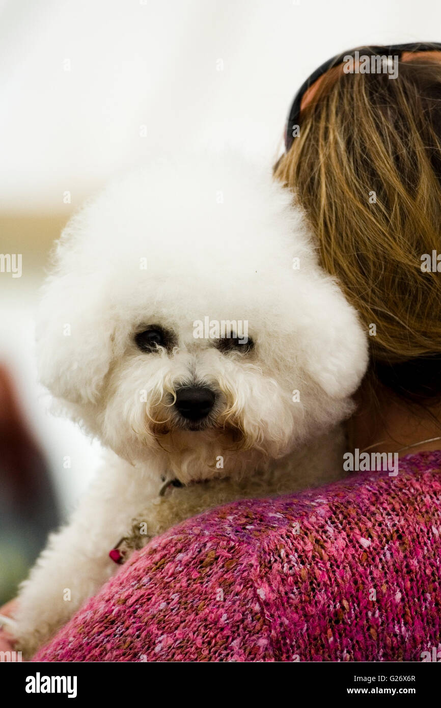 bichon frise dog being carried by owner - Stock Image