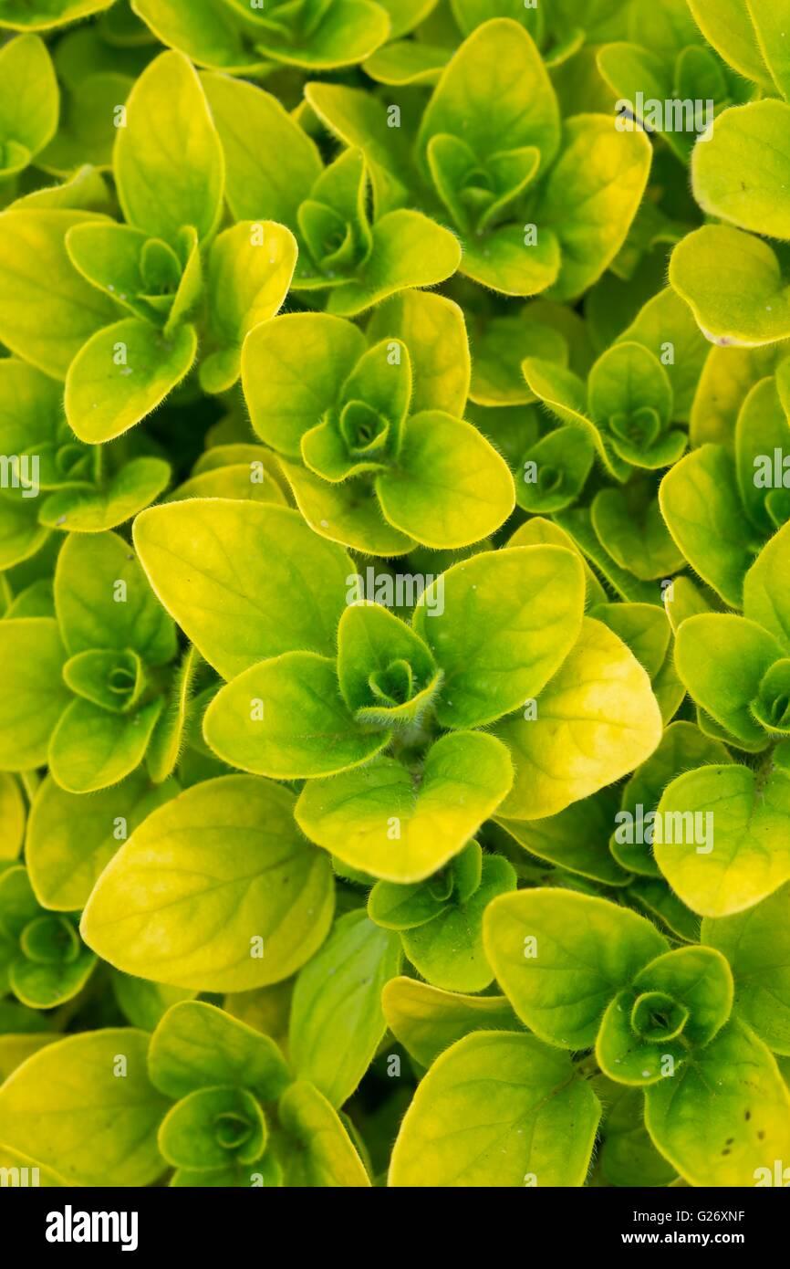 Origanum vulgare aureum Creeping Golden Marjoram - Stock Image