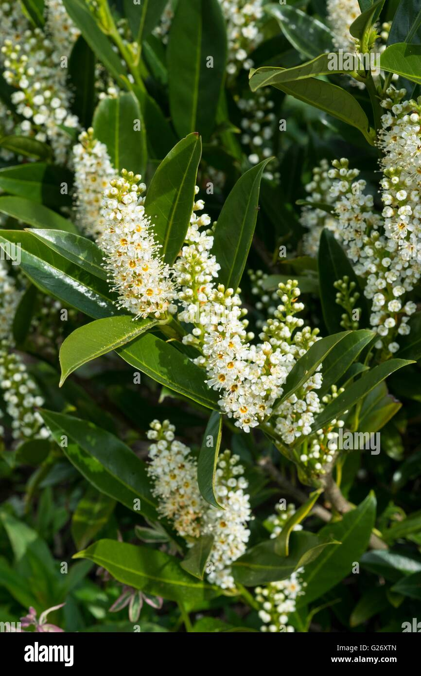 Prunus laurocerasus - laurel, cherry laurel - Stock Image