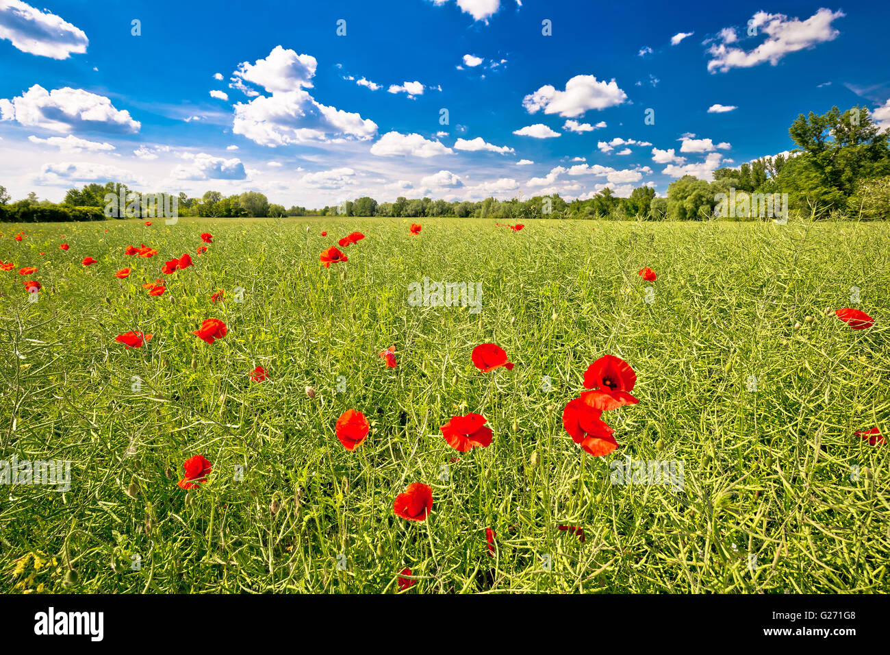 Poppy flower field and green landscape of Podravina region of Croatia - Stock Image