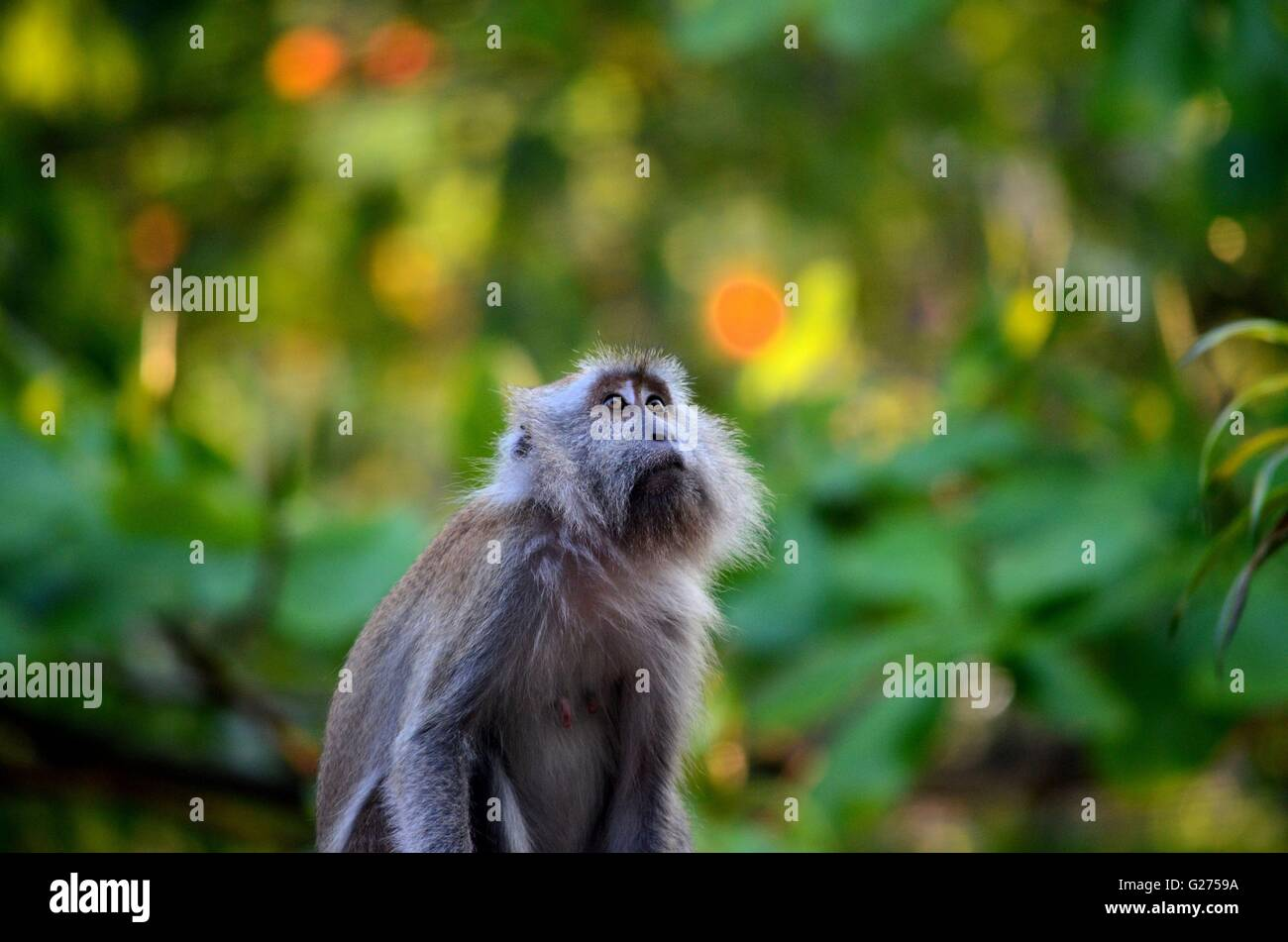 Female long tailed macaque monkey gazes upwards inside dense Malaysian rain forest in Tioman island - Stock Image