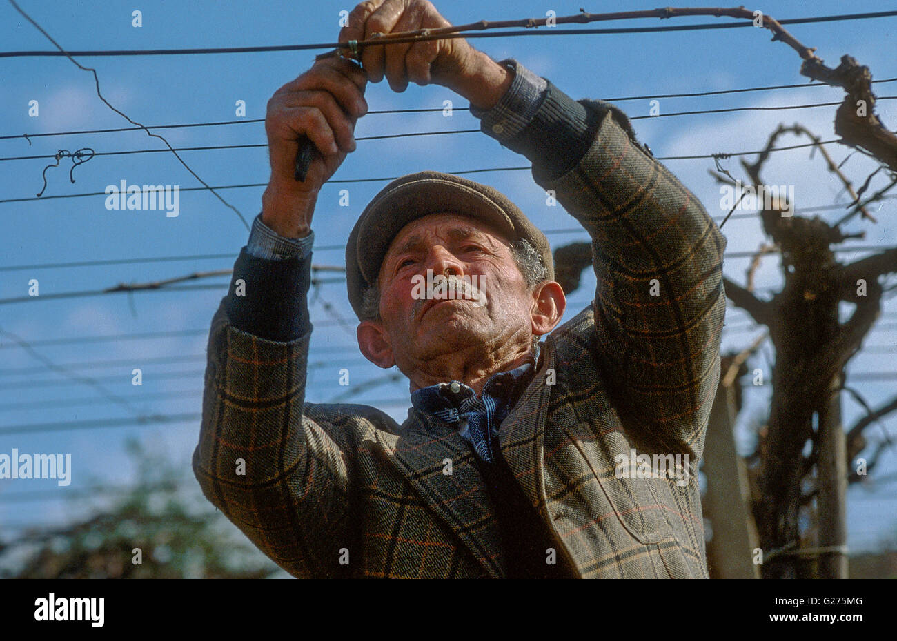old vineyard worker working on pergola trellising system fixing shoots near Controguerra (Abruzzo) Stock Photo