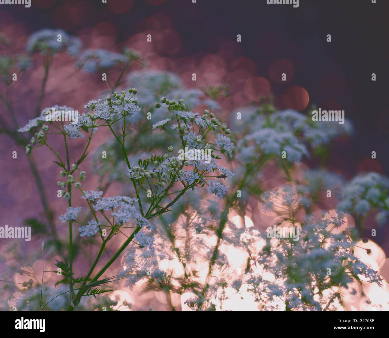 impressionist cow parsley with sunset in water reflection background - Stock Image