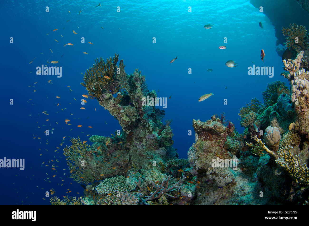Bright orange school of fish Longspine anthias, lyretail coralfish, lyretail anthias, sea goldie or scalefin anthia - Stock Image