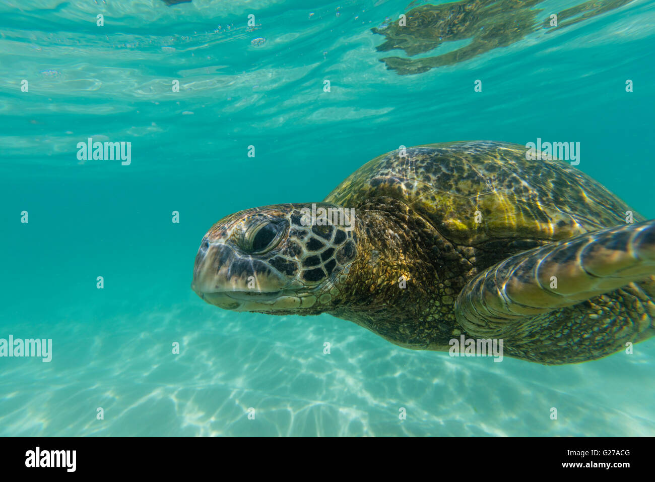 A close up view of a green sea turtle swimming in the ocean. - Stock Image