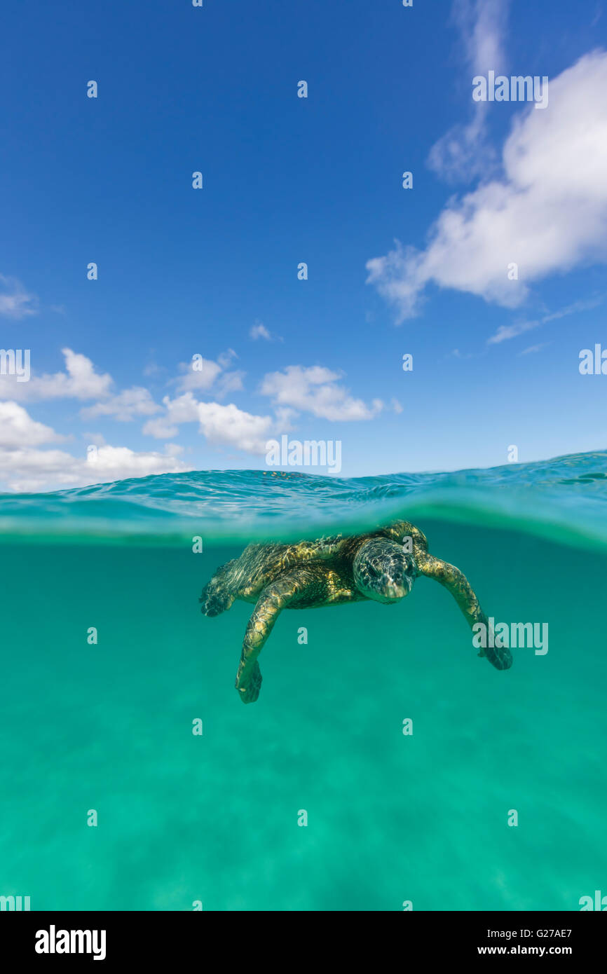 An over under view of a Hawaiian green sea turtle in the ocean swimming. - Stock Image