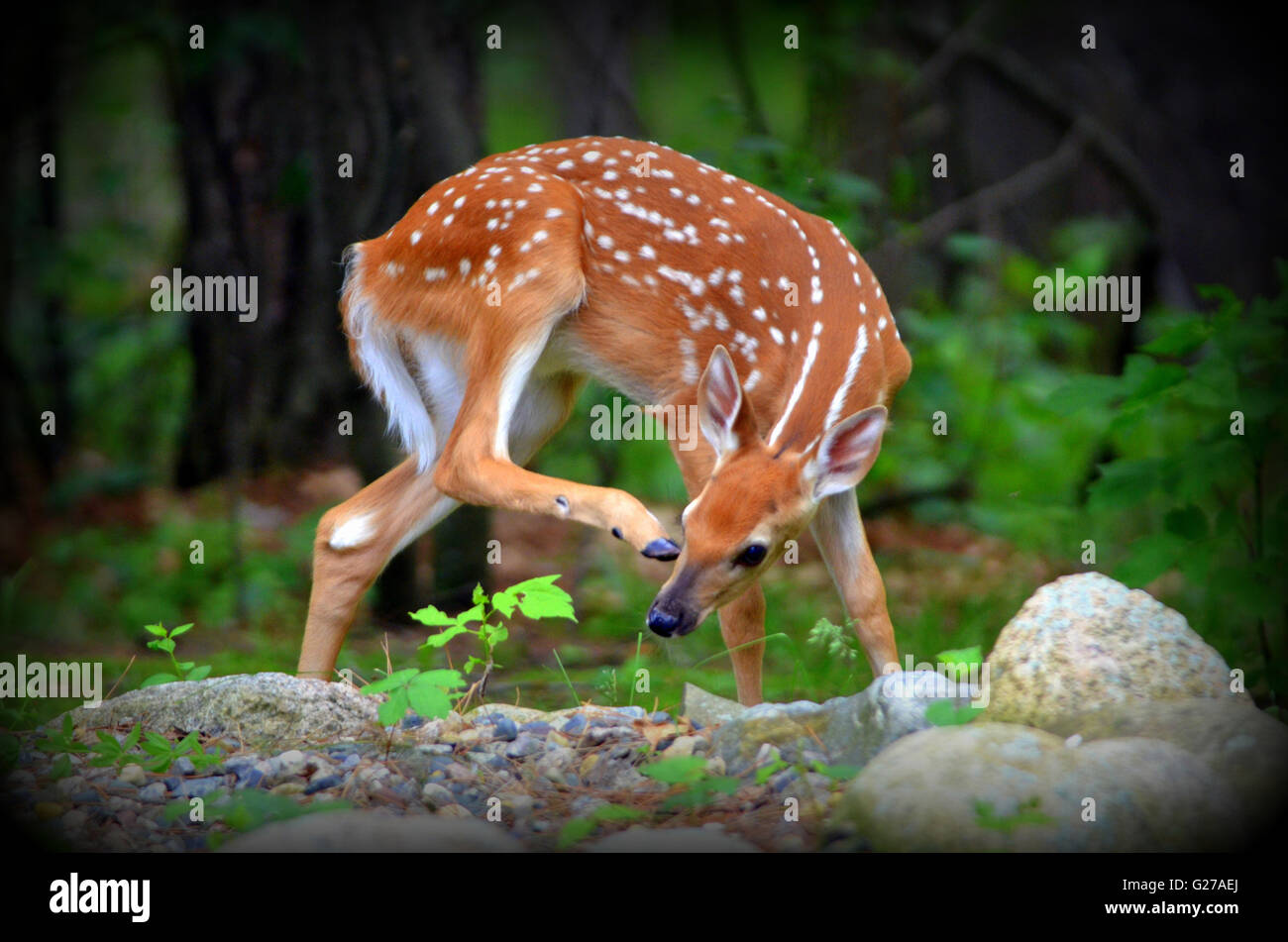 White-tail fawn scratching itself - Stock Image