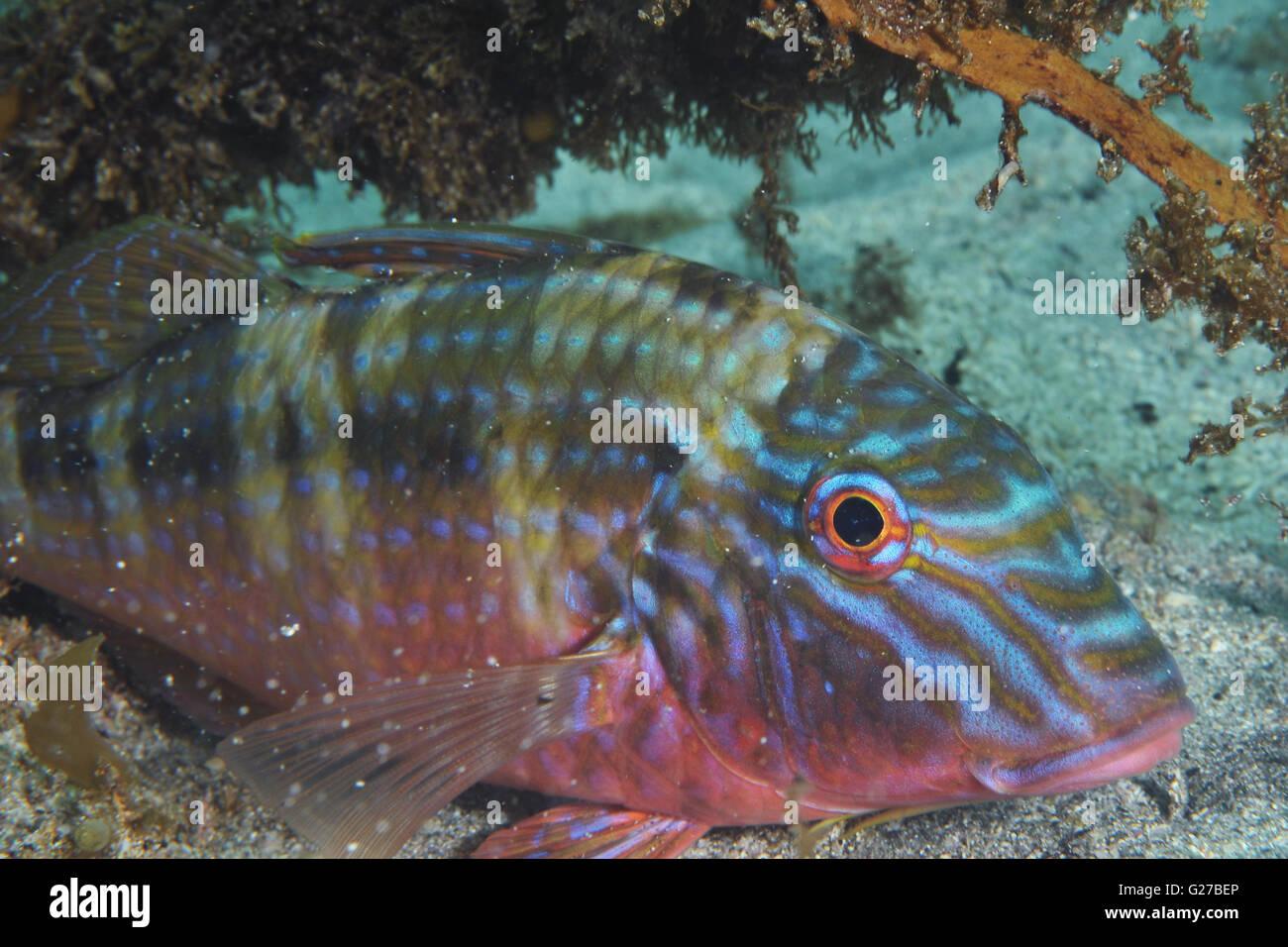 Goatfish Upeneichthys lineatus Stock Photo