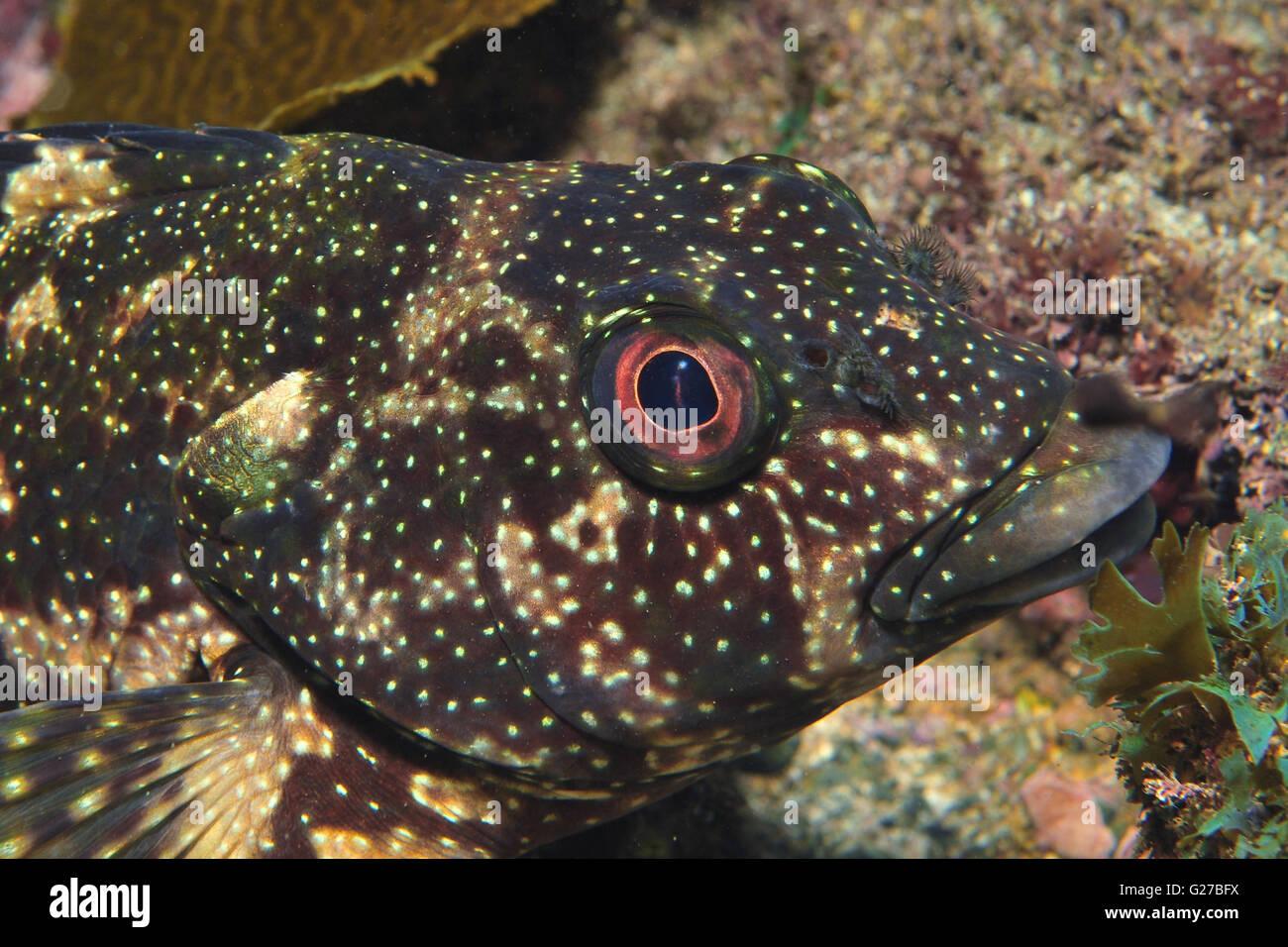 Kelpfish Chironemus marmoratus Stock Photo