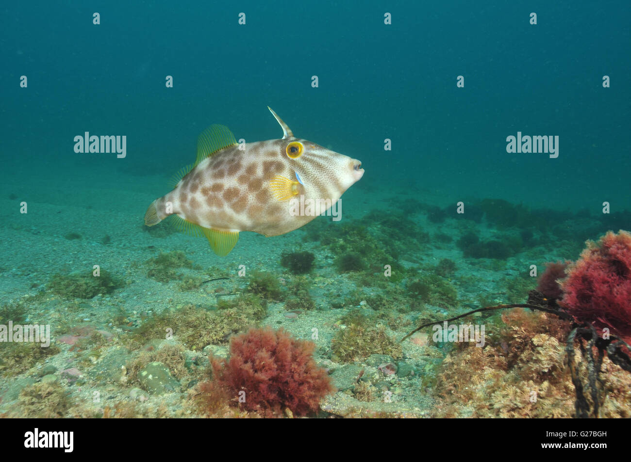 Leatherjacket Parika scaber Stock Photo