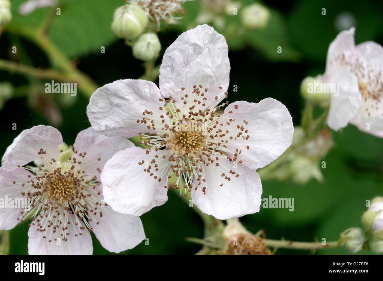 Cluster of Himalayan Blackberry (Rubus discolor or Rubus ameniacus) wildflowers, Vancouver, British Columbia, Canada - Stock Image