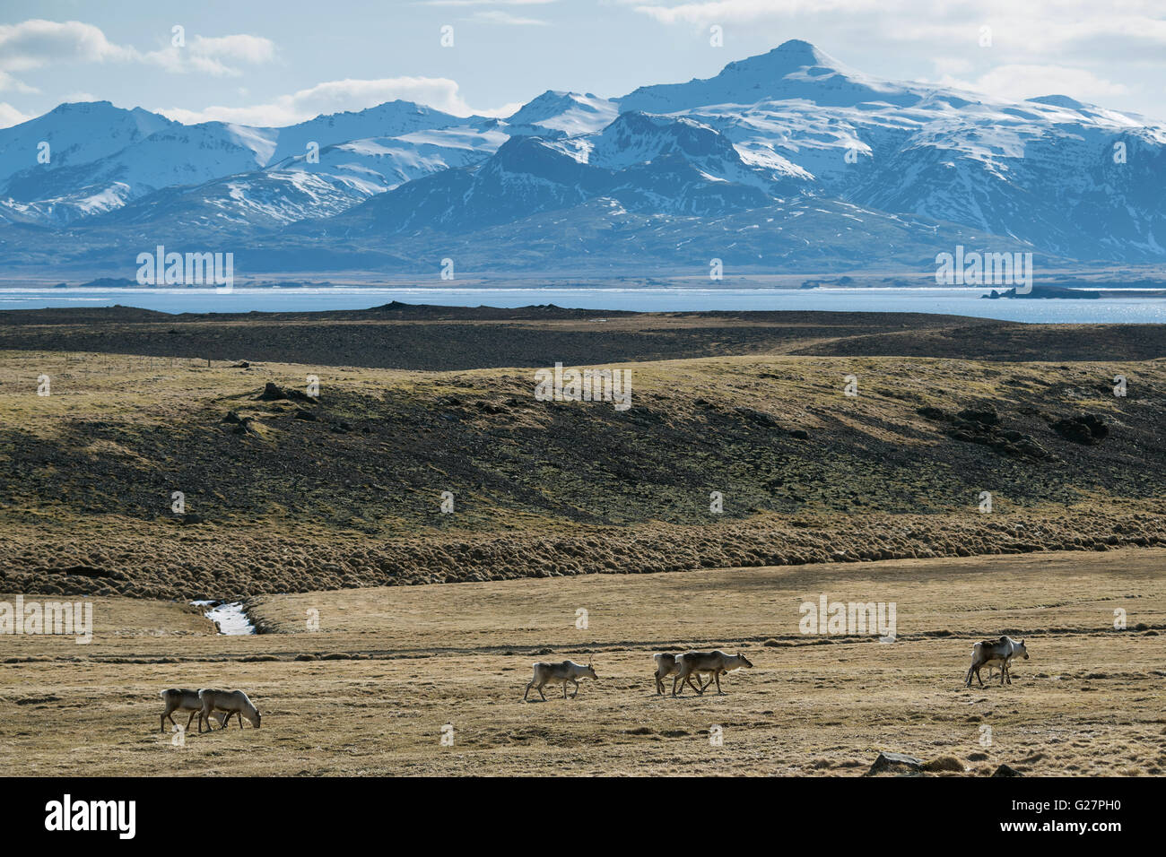 Reindeer (Rangifer tarandus) in front of mountains, East Fjords, Iceland - Stock Image