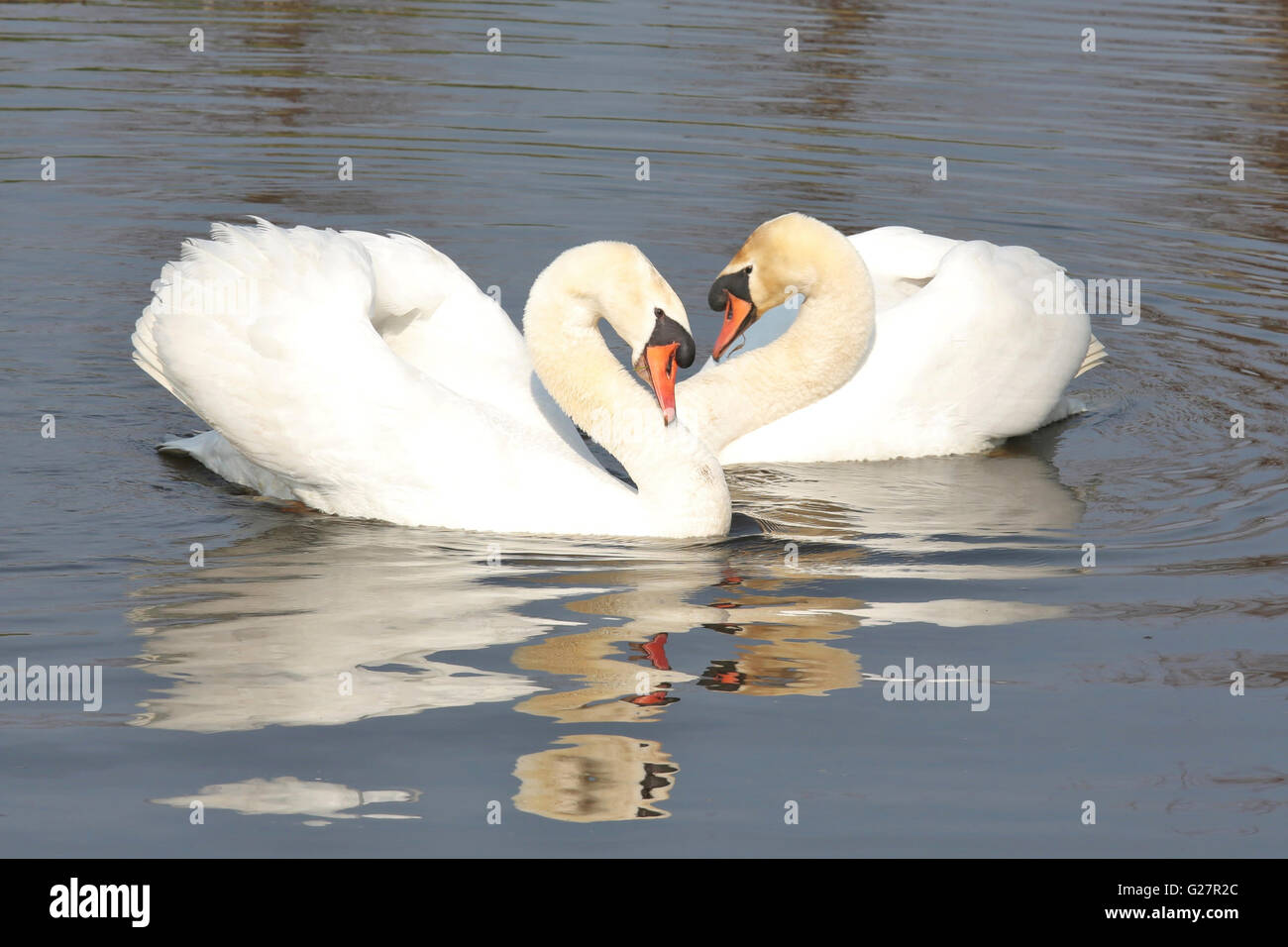 Two swans courting each other Stock Photo