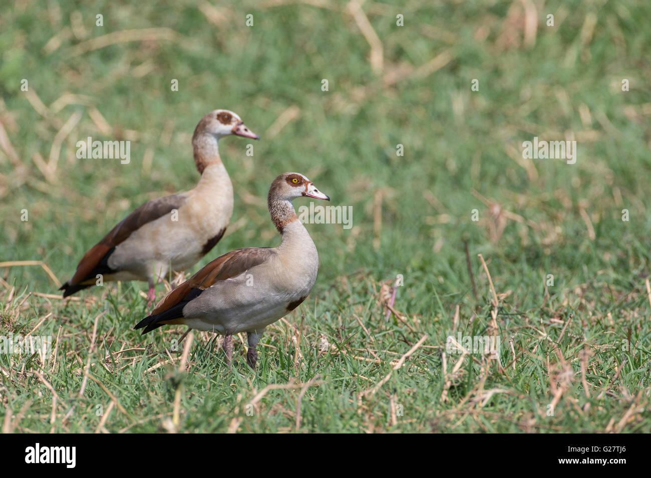 Egyptian Geese (Alopochen aegyptiacus), Botswana - Stock Image