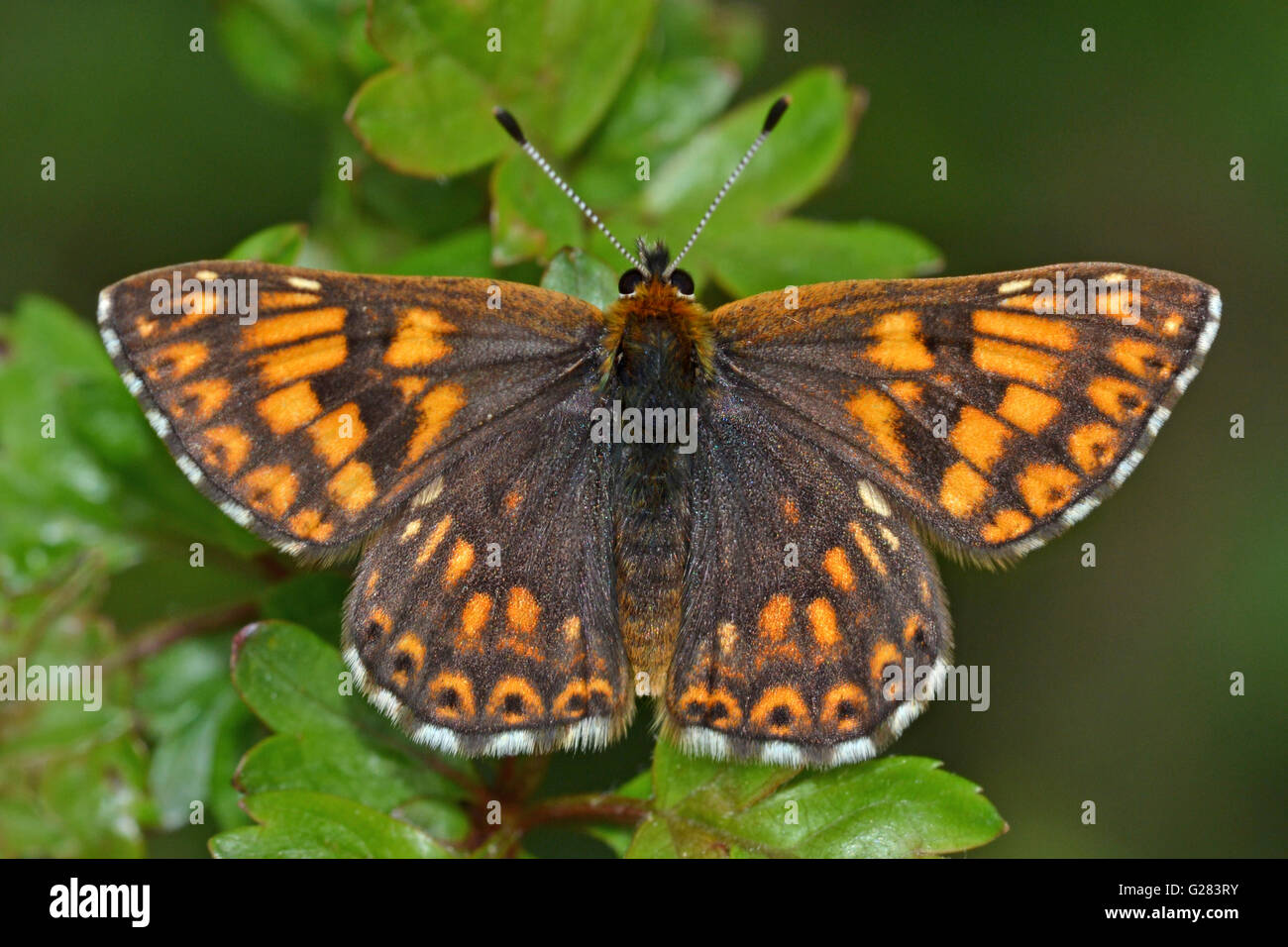 Duke of Burgundy butterfly, defending its territory, on a hawthorn perch,on chalk downland in the Chilterns, England. - Stock Image