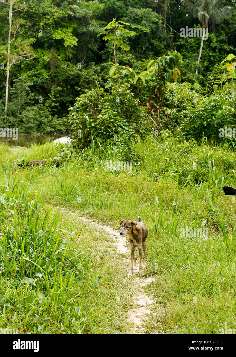 Dog. Buen Peru. Amazon rainforest. Peru - Stock Image