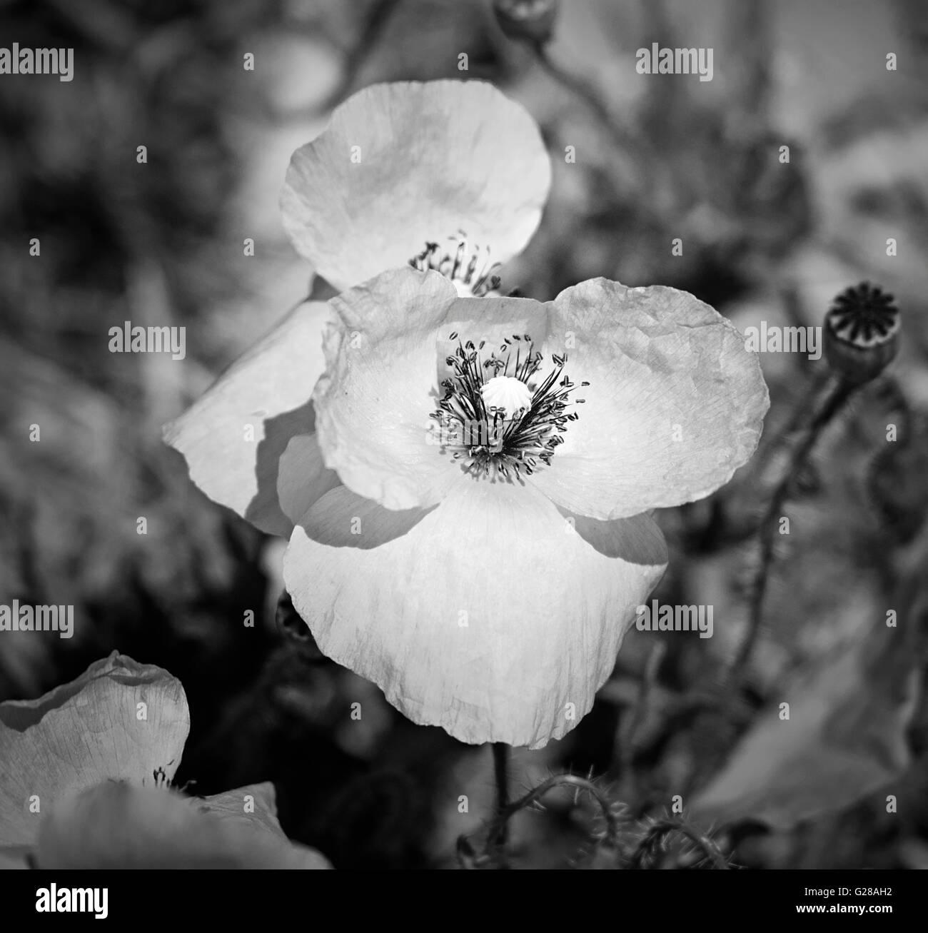 Black white poppy flower scientific name papaver rhoeas nice black white poppy flower scientific name papaver rhoeas nice black and white technique and shallow depth of field mightylinksfo
