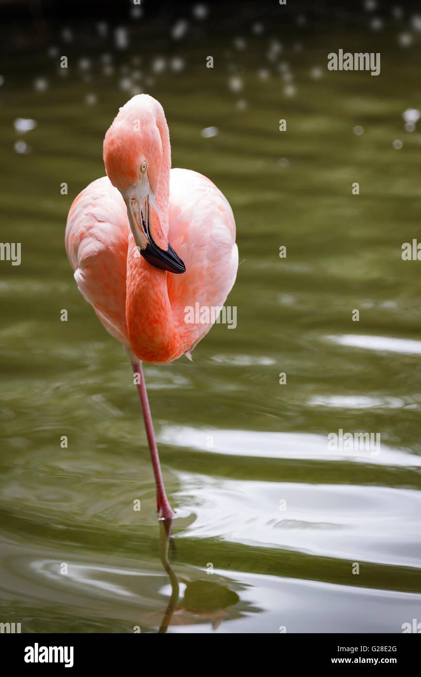Portrait of one legged pink flamingo - Stock Image