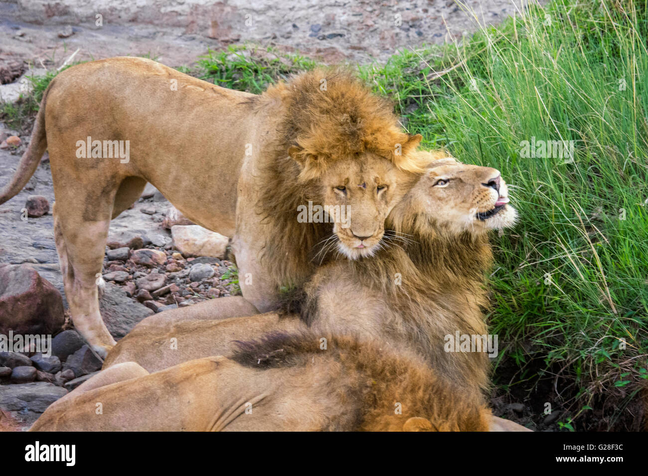 Male African Lions, Panthera leo, showing affection, Masai Mara National Reserve, Kenya, Africa - Stock Image