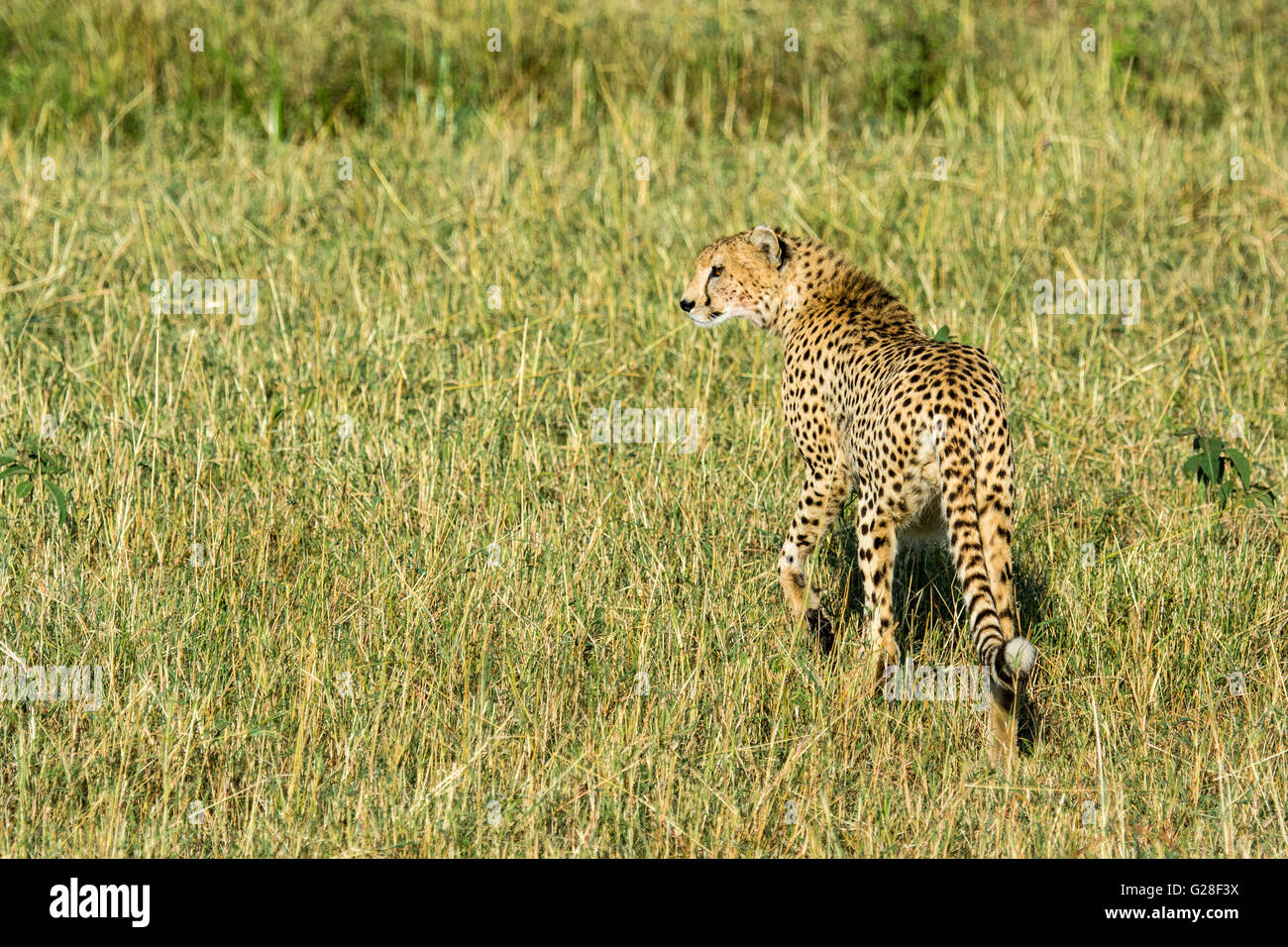 Solitary Adult Wild Cheetah, Acinonyx  jubatus, Walking, Looking for prey, Masai Mara National Reserve, Kenya, East - Stock Image