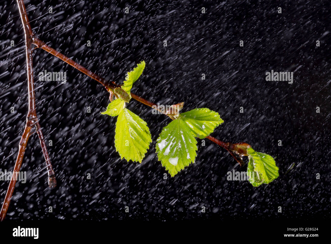 Birch Leaves with Rain on black background. - Stock Image