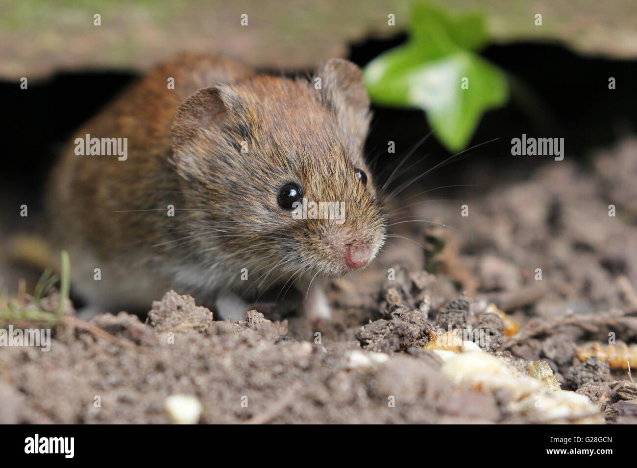 Vole and Ivy - Stock Image
